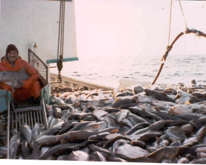 "MV ""Jessey and Shelley"" Good Haul of Cod"